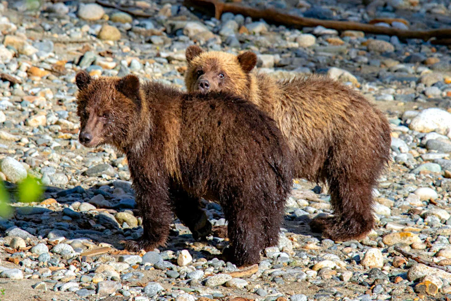 Grizzly bear cubs courtesy of HWCT guest François Haffner